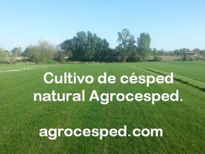 Plantación de tepes Agrocesped