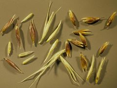 Semilla de Agrostis Estolonofera